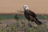 Short Toed Eagle 4-5/ 2017   חוויאים