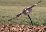 Lesser Spoted Eagle       עיט חורש