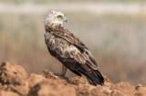 Short Toed Eagle 05-07/2017    חוויאים