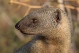 Egyptian mongoose   נמיה מצויה