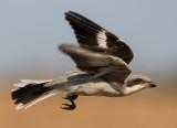 Lesser Grey Shrike חנקן שחור מצח