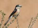 Masked Shrike