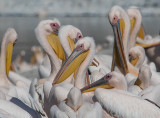 Pelicans 23/10/2017   שקנאים-עמק חפר