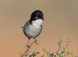 Sardinian Warbler             סבכי שחור ראש