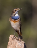 Bluethroat       כחול החזה