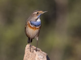 Bluethroat       כחול החזה