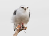 Black-winged kite       דאה שחורת כתף