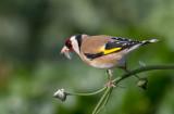 Goldfinch  חוחית