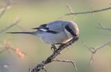 Great-gray Shrike     חנקן דרומי(גדול)