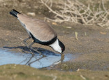 Spur-winged Lapwing     סיקסק