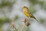 Greenfinch (European)   ירקון