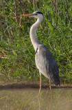Grey Heron     אנפה אפורה