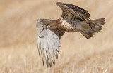 Short Toed Eagle 2018