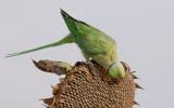Rose-ringed Parakeet     דררה מצוייה