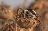 Syrian Woodpecker     נקר סורי