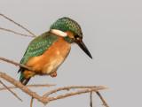Kingfisher    שלדג גמדי