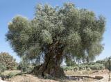 A Árvore Mais Velha de Portugal