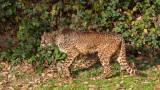 Guépard - Cheetah - Acinonyx jubatus jubatus