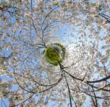 Forest_Lawn_blossoms_LP_HH_jcascio.jpg