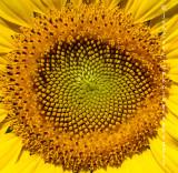 sunflower_center_01_joecascio.jpg