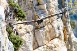 Griffon vulture - Vautours fauves