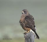 Swainsons Hawks