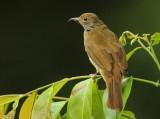 Bulbuls - Pycnonotidae (Buulbuuls)