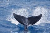 Whales in Hervey Bay Queensland.