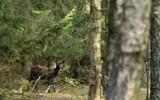 Kronhjortshind i skogen