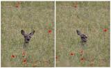 Kronhjortar har otroligt rörliga öron! På en sekund trollar hon bort ett öra!
