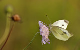 Vitfjäril (rapsfjäril / kålfjäril / rovfjäril?) på åkervädd