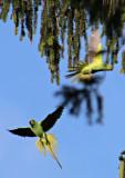 Vilda, fritt flygande papegojor (Halsbandsparakiter?) i Heidelberg, Tyskland