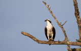 Pineland Osprey with fish