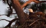 cape coral eagle sitting on eggs