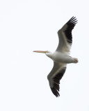 white pelican flying over my house