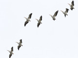 white pelicans flying over my house today