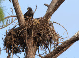 the eagle's nest up the road has chicks ready to fledge