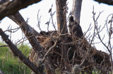 the eagles's nest up the street has two chicks