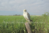 Nest of pallid harrier in the netherlands 11