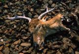 deer with no body