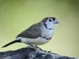 Double-barred Finch Taeniopygia bichenovii