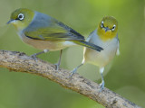 Silvereyes Zosterops lateralis