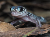 Thick-tailed Gecko Underwoodisaurus milii