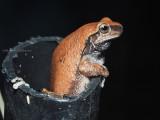 Desert or Red tree Frog, Colleeneremia rubella