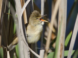 Australian Reed-warbler, Acrocephalus australis