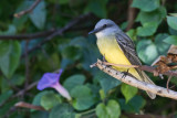 Tyran mélancoliqueTropical Kingbird