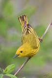Paruline jauneYellow Warbler