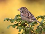 Moineau domestiqueHouse Sparrow