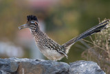 Grand GéocoucouGreater Roadrunner