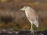 Bihoreau grisBlack-crowned Night Heron